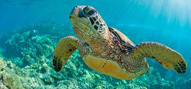Sea,Turtle,Close,Up,Over,Coral,Reef,In,Hawaii